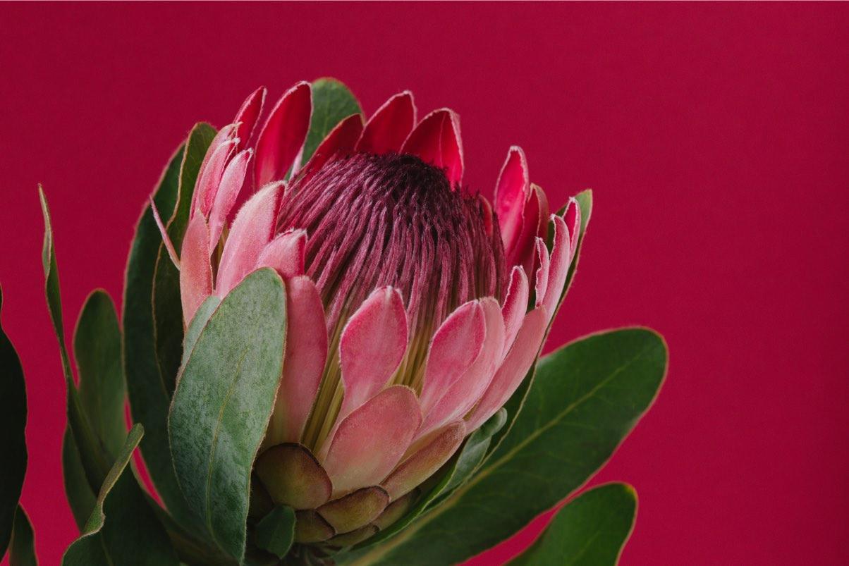 test-protea