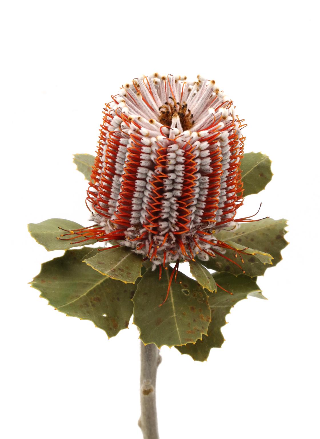 banksia-coccinea