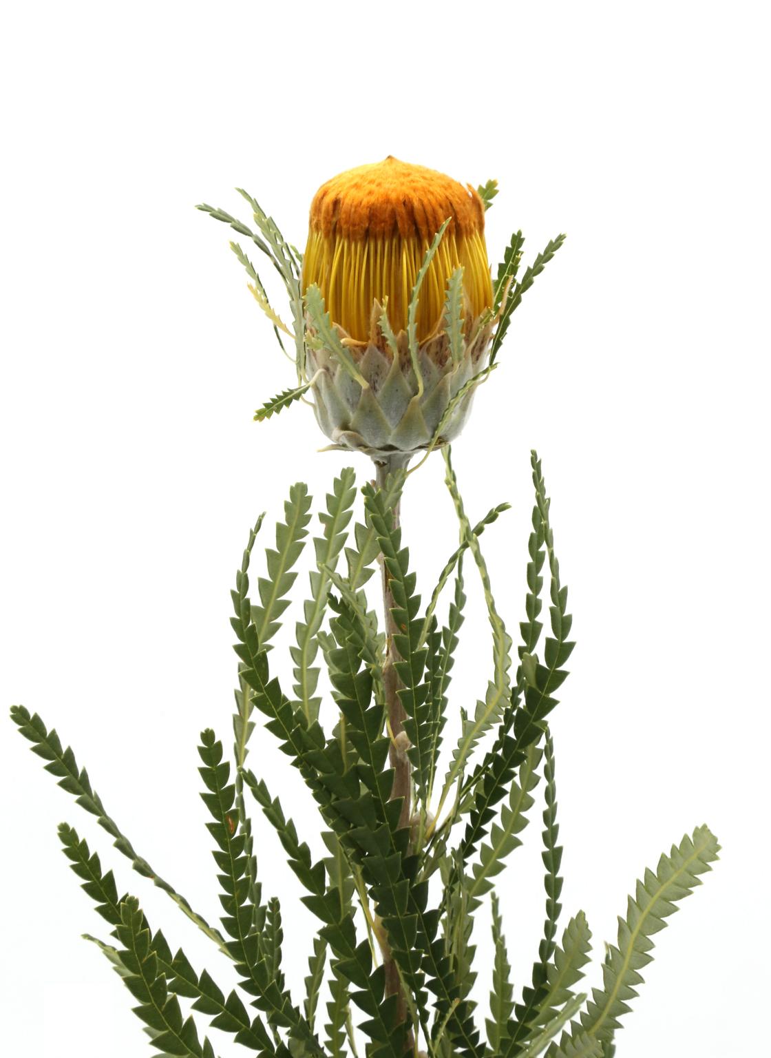 banksia-dryandra