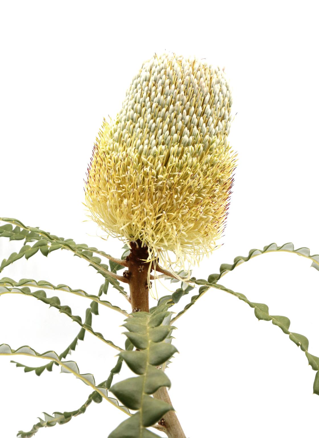 banksia-speciosa