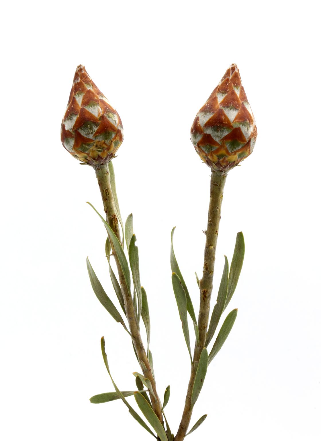 kaaps groen-plumosum