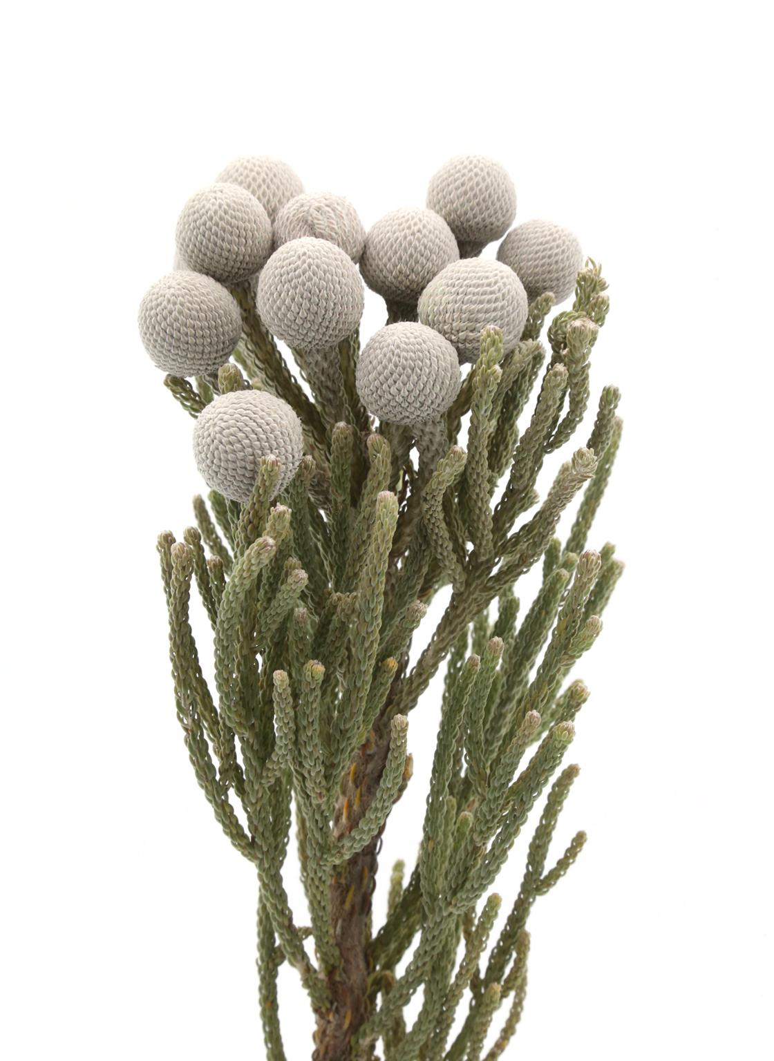 kaaps groen-silver brunia