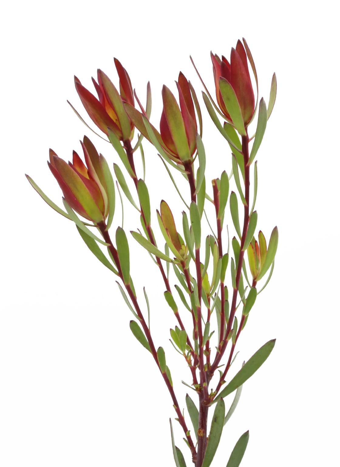 leucadendron-bush spray