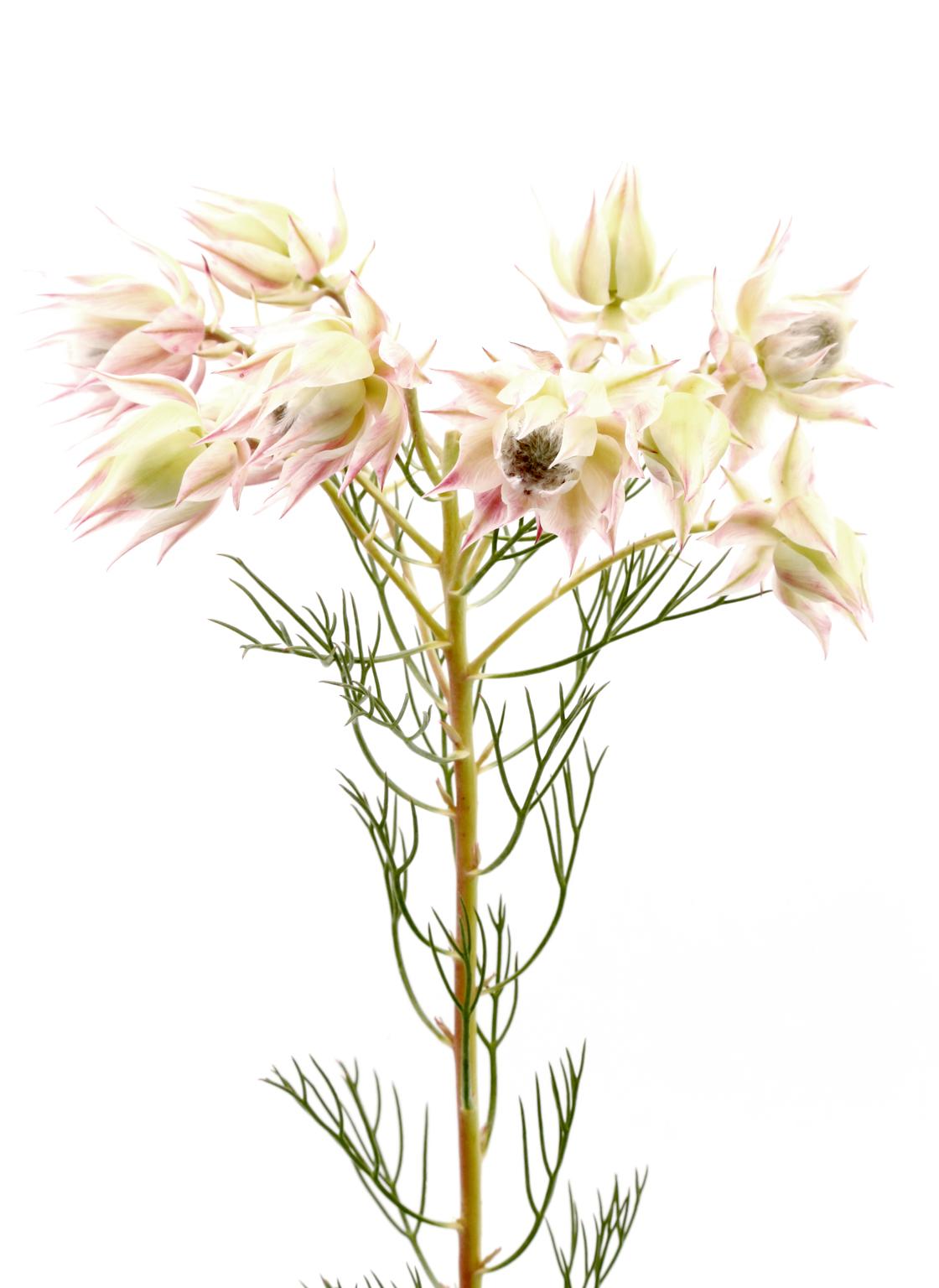 protea-blushing bride white