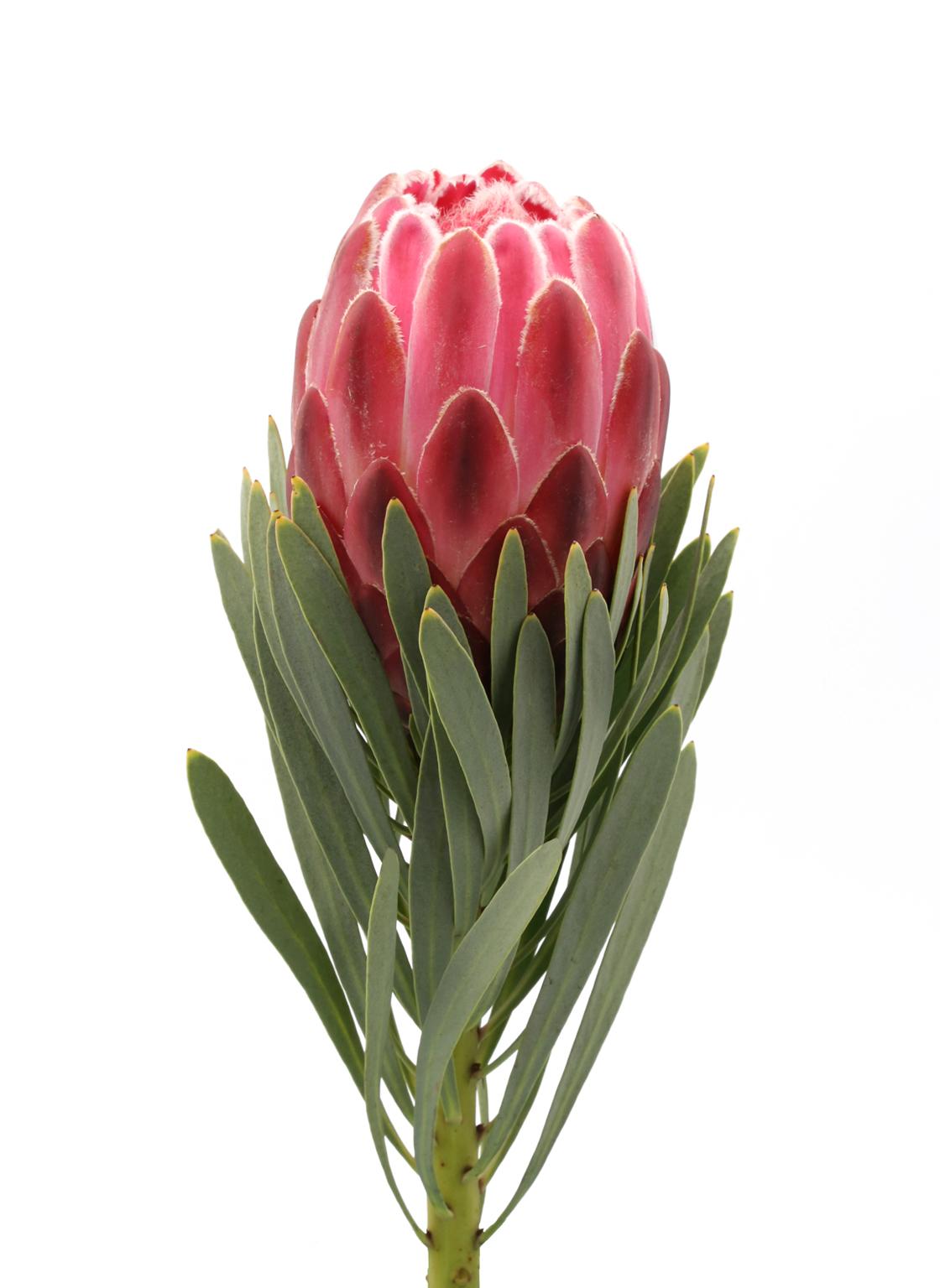 protea-venus